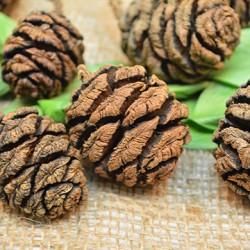 Sequoia Cones - Sequoia Pine Cones