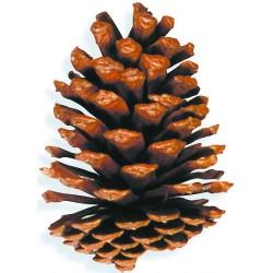 Large Slash Pine Cones - Natural