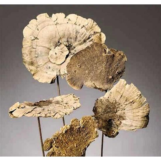 Sponge Mushroom Stemmed or Unstemmed