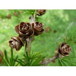Tamarack Cones - Natural