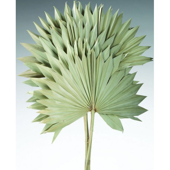 Dried Sun Palm Leaf Fans