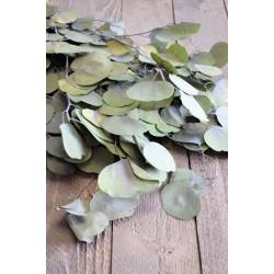 Dried Silver Dollar Eucalyptus - Kiwi Green