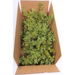 Fresh Mistletoe Boughs Bulk