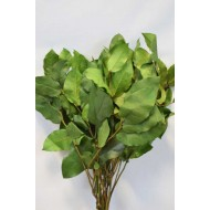 Preserved Salal - Green XL Bunch