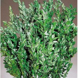 Dried Boxwood - Naturally Preserved