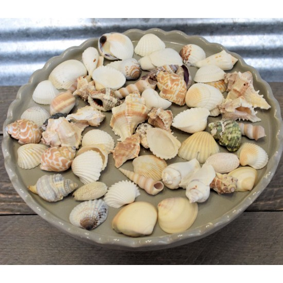 Assorted Decorative Sea Shells - 2 Bags Medium