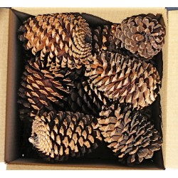 Jeffries Large Pine Cones (PineCones)