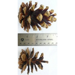 Austriaca Pine Cones