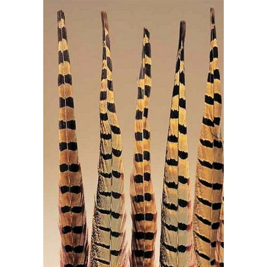 Ringneck Pheasant Feathers 20