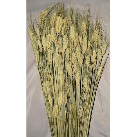 Club Wheat Bundle