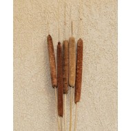 Large Dried Cattails (Cat tails) For Sale (Qty 5)