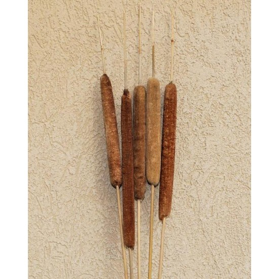 Dried Cattails Jumbo 30