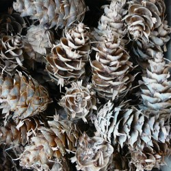 Horned Spruce Cones