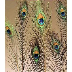 Peacock Eye Feathers for sale