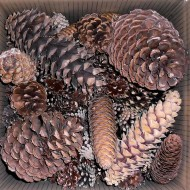 Pinecone Seconds - Large and Small