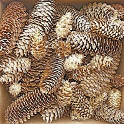 Spruce Pine Cones - Assorted Sizes