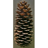 Sugar Pine Cones - Very Long Pine cones