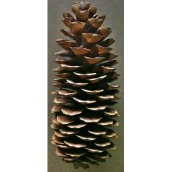 Sugar Pine Cones - Very Long Pine cones
