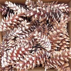 White Pine Cones - Strobus Cones