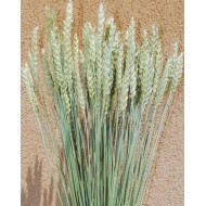 Green Beardless Wheat Bundle