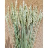 Green Beardless Wheat Bundle