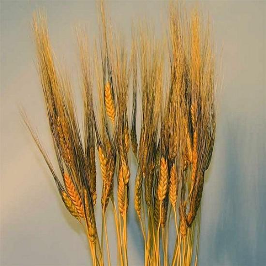 Dyed Blackbeard Wheat Bunch - 8oz