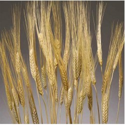 Triticum Wheat Bundles - 8oz blond